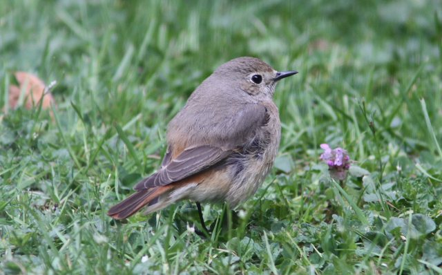 Female Common Redstart, Northampton, 3rd May 2010 (Bob Bullock)