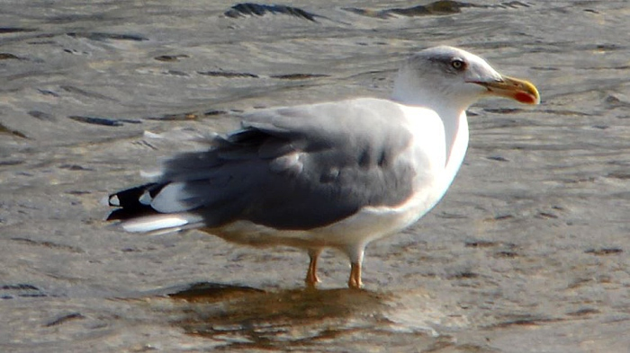 Adult Yellow-legged Gull, Pitsford Res, 12th Sep 2015 (Mike Alibone)