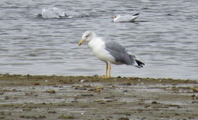 Adult Yellow-legged Gull, Pitsford Res, 22nd September 2015 (Alan Francis)