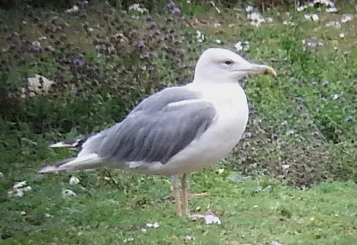 Caspian Gull, Stanwick GP, 4th September 2015 (Steve Fisher)