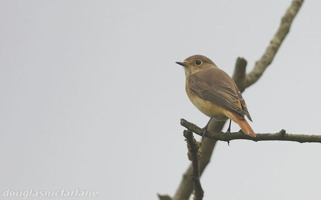 Female Common Redstart, Brampton Valley, 30th August 2015 (Douglas McFarlane)