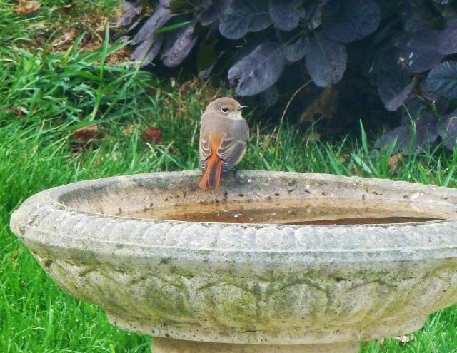 Common Redstart, Wellingborough, 29 August 2015 (Barbara Nunn)
