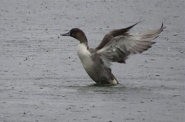 Drake Pintail, Wicksteed Park Lake, 21st September (Alan Francis)