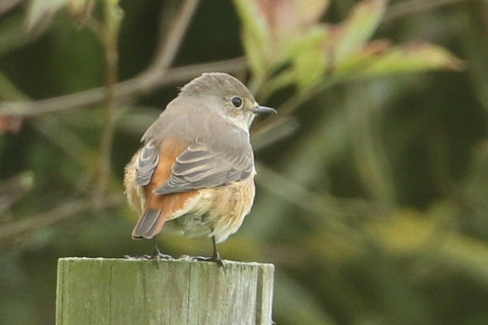 Female Common Redstart, between Pitsford Res and Walgrave, 13th September 2015 (Bob Bullock)