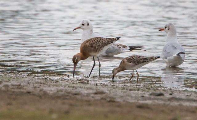 Juvenile Black-tailed Godwit and juvenile Ruff, Hollowell Res, 3rd September 2015 (Martin Swannell)