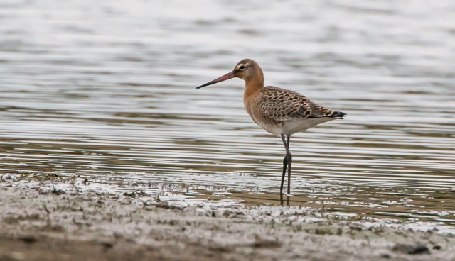 Juvenile Black-tailed Godwit, Hollowell Res, 3rd September 2015 (Martin Swannell)