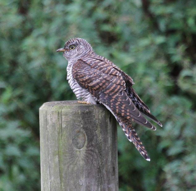 Juvenile Cuckoo, Brixworth CP, 3rd September 2015 (Alan Coles)