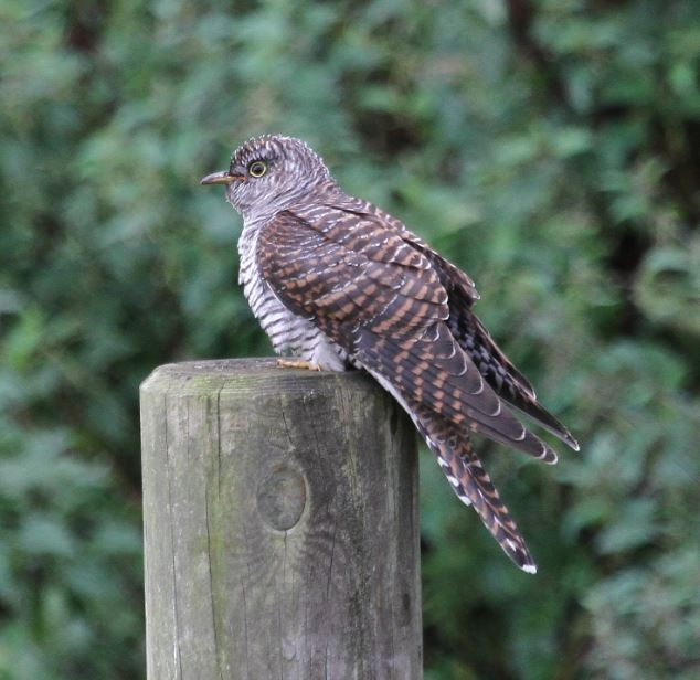 Juvenile Cuckoo, Brixworth CP, 3rd September 2015 (Alan Coles)