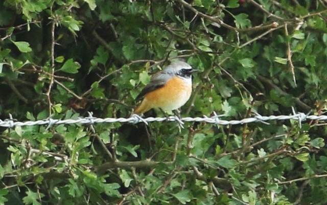 Male Common Redstart, between Pitsford Res and Walgrave, 13th September 2015 (Bob Bullock)