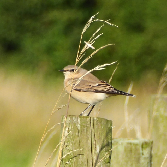 Northern Wheatear, near Cold Ashby, 5th September 2015 (Mike Simon)
