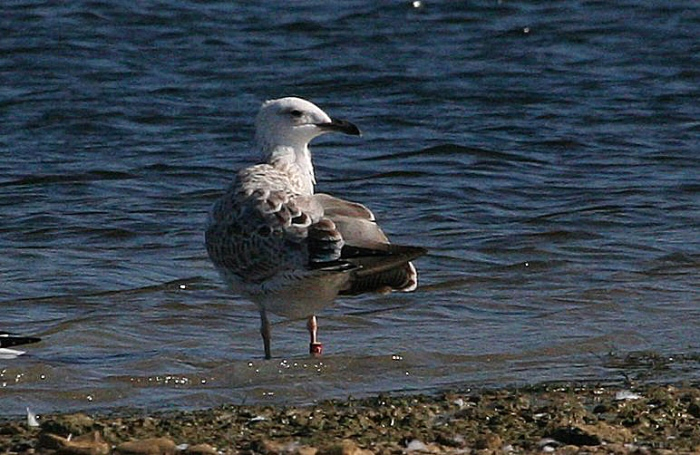 Apparent Polish-ringed juvenile Caspian Gull in moult to first-winter, Stanwick GP, 10th September 2015 (Steve Fisher)