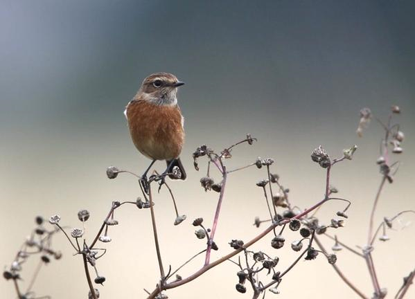 Stonechat, Blueberry Farm, Maidwell, 19th September 2015 (Martin Swannell)