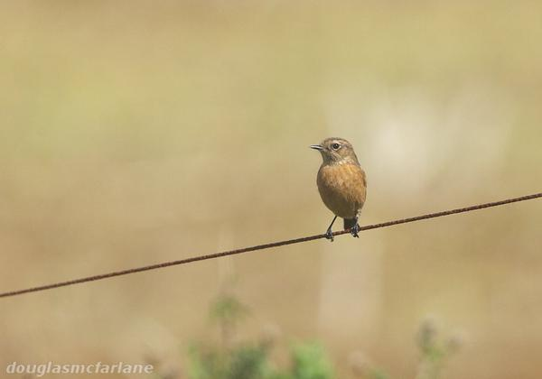 Stonechat, Brampton Valley, 24th September 2015 (Douglas McFarlane)
