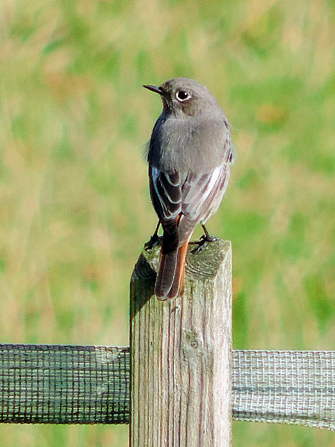 Black Redstart, Denton Wood, 12th October 2015 (Steve Brayshaw)