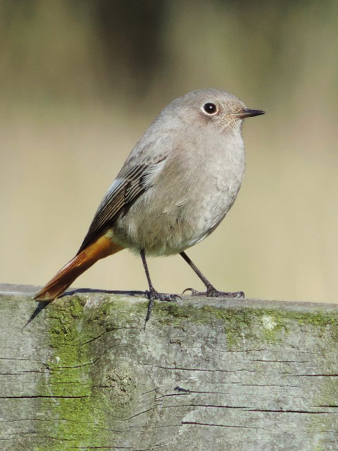 Black Redstart, Denton Wood, 14th October 2015 (Steve Brayshaw)