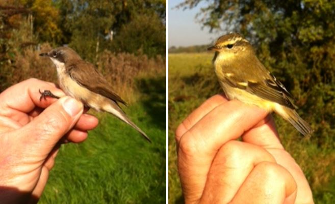 'Eastern' Lesser Whitethroat and Yellow-browed Warbler, Stanford Res, 12th October 2015 (Adam Homer)