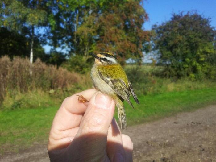 Firecrest, Stanford Res, 9th October 2015 (Mick Townsend)