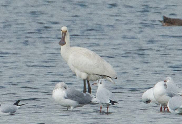 First-winter Spoonbill, Summer Leys LNR, 20th October 2015 (John Nicholls)