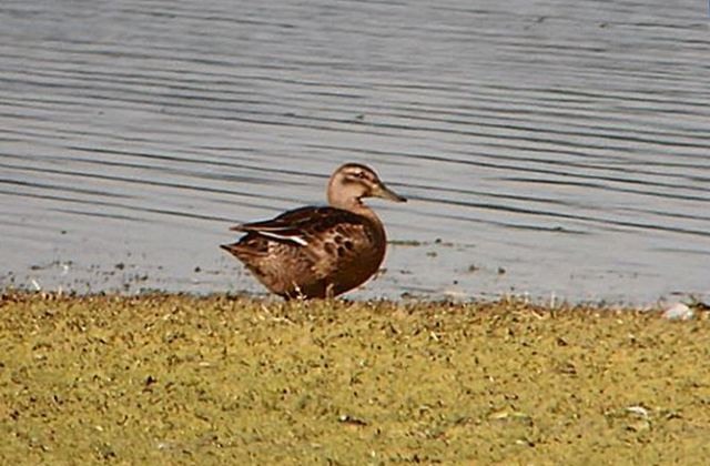 Garganey, Pitsford Res, 6th October 2015 (Mike Alibone)