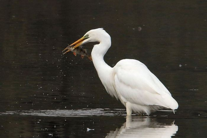 Great White Egret, Ravensthorpe Res, 3rd October 2015 (Bob Bullock)