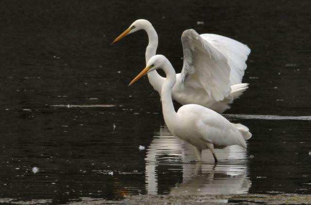 Great White Egrets, Ravensthorpe Res, 3rd October 2015 (Bob Bullock)