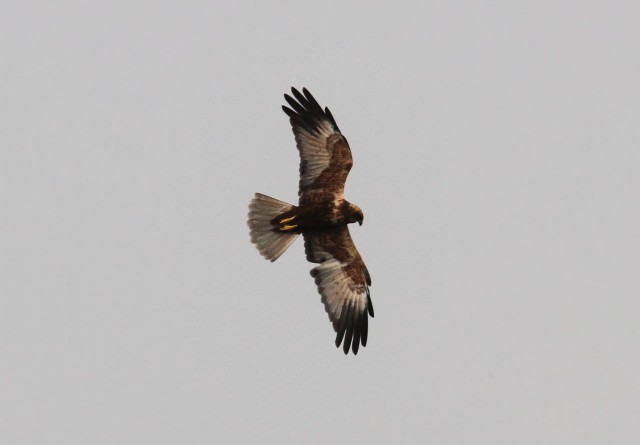 Male Marsh Harrier, Summer Leys LNR, 27th October 2015 (Alan Coles)