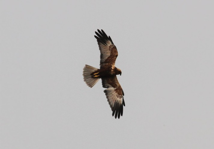 Male Marsh Harrier, Summer Leys LNR, 27th October 2015 (Alan Coles)
