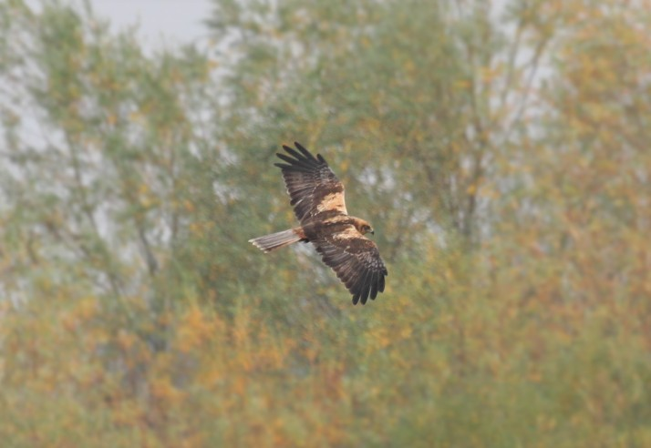 Male Marsh Harrier, Summer Leys LNR, 27th October 2015 (Alan Coles). Note 'old' unmoulted outertail feather.