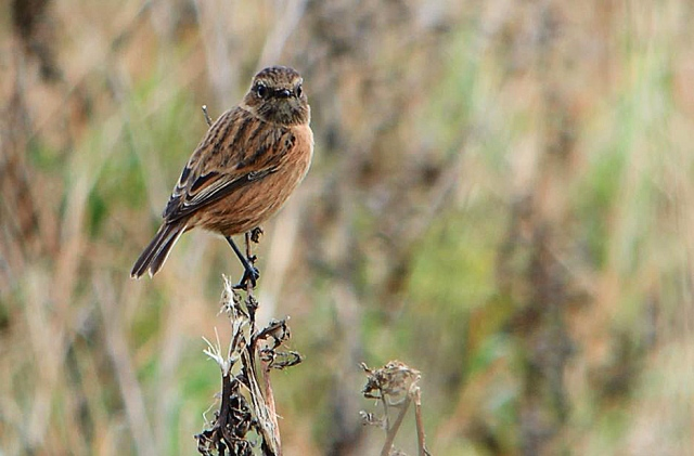 Stonechat, Blueberry Farm, Maidwell (3rd October 2015 (Mike Alibone)