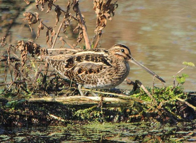 Common Snipe, Ecton SF, 1st November 2015 (Mike Alibone)