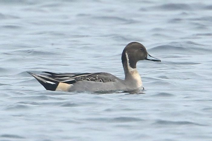Drake Pintail, Earls Barton GP, 14th November 2015 (Bob Bullock)