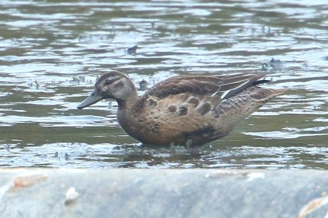 First-winter female Garganey, Pitsford Res, 3rd November 2015 (Bob Bullock)