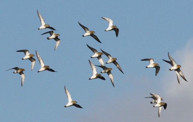 Golden Plovers, Summer Leys LNR, 26th October 2015 (Alan Coles)