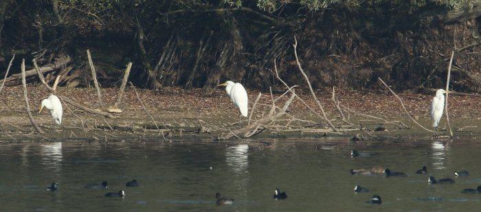 Great White Egrets, Pitsford Res, 1st November 2015 (Bob Bullock)