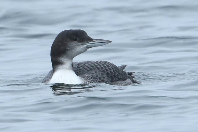Juvenile Great Northern Diver, Earls Barton GP, 14th November 2015 (Bob Bullock)