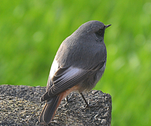 Male Black Redstart, Kettering, 19th November 2015 (Andrew Briggs)