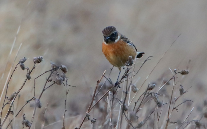 Stonechat, Blueberry Farm, Maidwell, 20th November 2015 (Martin Swannell)