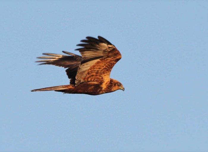 Second calendar year male Marsh Harrier, Summer Leys LNR, 1st November 2015 (Alan Coles)