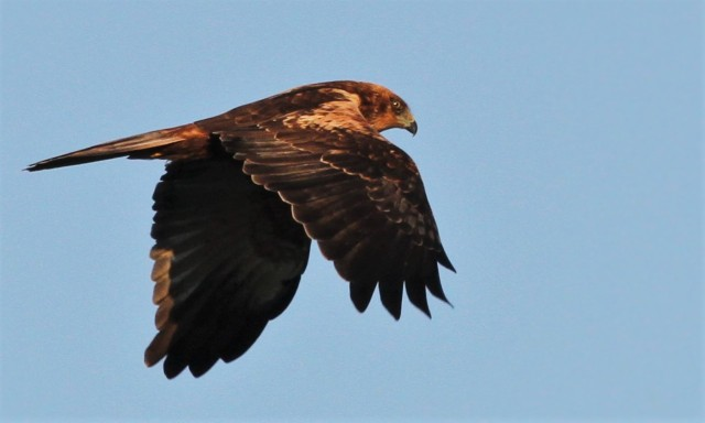 Second calendar year male Marsh Harrier, Summer Leys LNR, 1st November 2015 (Alan Coles)