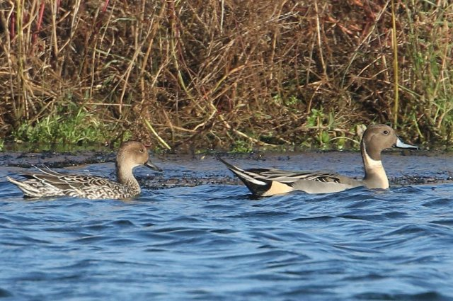Pintails, Earls Barton GP, 25th November 2015 (Bob Bullock)