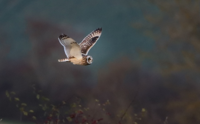 Short-eared Owl, Blueberry Farm, Maidwell, 20th November 2015 (Martin Swannell)
