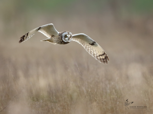 Short-eared Owl, Blueberry Farm, Maidwell, 22nd November 2015 (Simon Wantling)