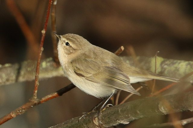 Siberian Chiffchaff, Pitsford Res, 25th November 2015 (Bob Bullock)