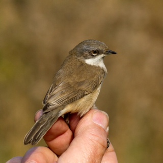 Siberian Lesser Whitethroat Sylvia curruca blythi, Stanford Res, 12th October 2015 (Paul Riddle)