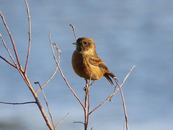 Stonechat, Pitsford Res, 16th November 2015 (Alan Francis)