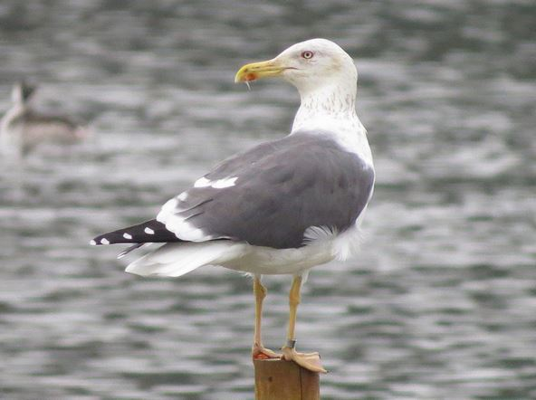 Adult Yellow-legged Gull, Wicksteed Park Lake, 31st October 2015 (Alan Francis)