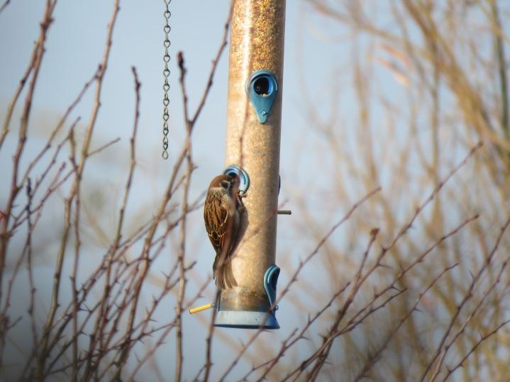 Tree Sparrow (Mick Townsend)