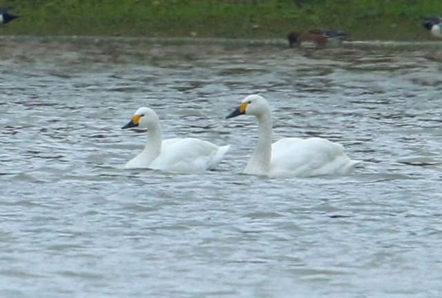 Bewick's Swans, Pitsford Res, 16th December 2015 (Bob Bullock)