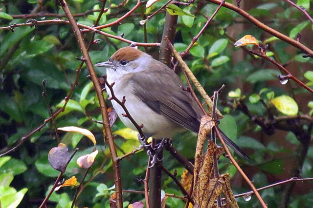 Female Central European Blackcap, Sywell, 15th December 2015 (Jim Dunkley)