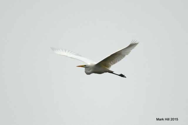 Great White Egret, Summer Leys LNR, 28th November 2015 (Mark Hill)